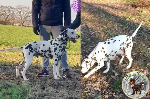 Look - Ouaza - Gratouille Refuge - Dalmatien - adoption
