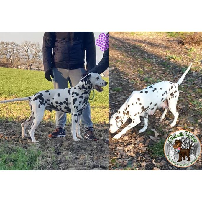 Look - Ouaza - Gratouille Refuge - Dalmatien - adoption